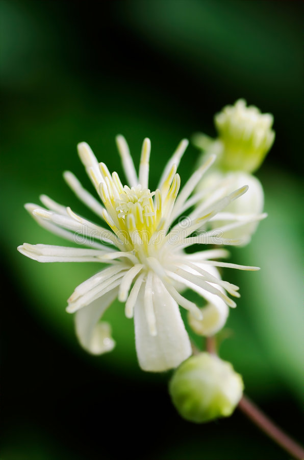 Feche acima da flor verde do Clematis (vitalba do Clematis) imagem de stock royalty free