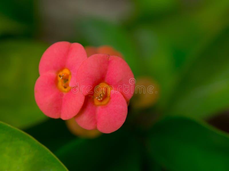Feche acima da flor vermelha bonita do milli do eufórbio em uma estação de mola em um jardim botânico foto de stock
