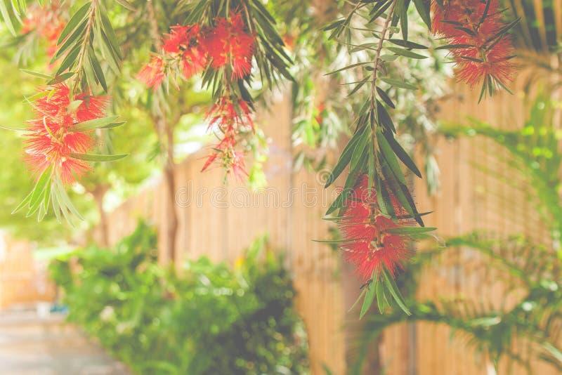 Feche acima da flor vermelha que pendura sobre a passagem com fundo de bambu da parede foto de stock royalty free