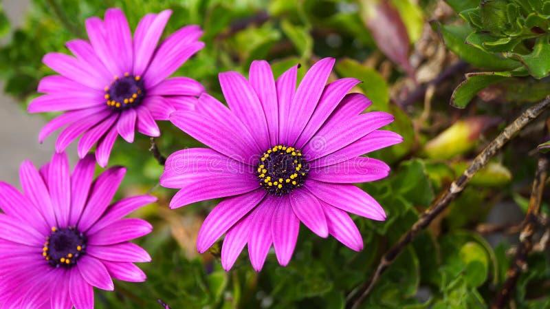 Feche acima da flor violeta bonita da margarida africana de Osteospermum fotos de stock royalty free