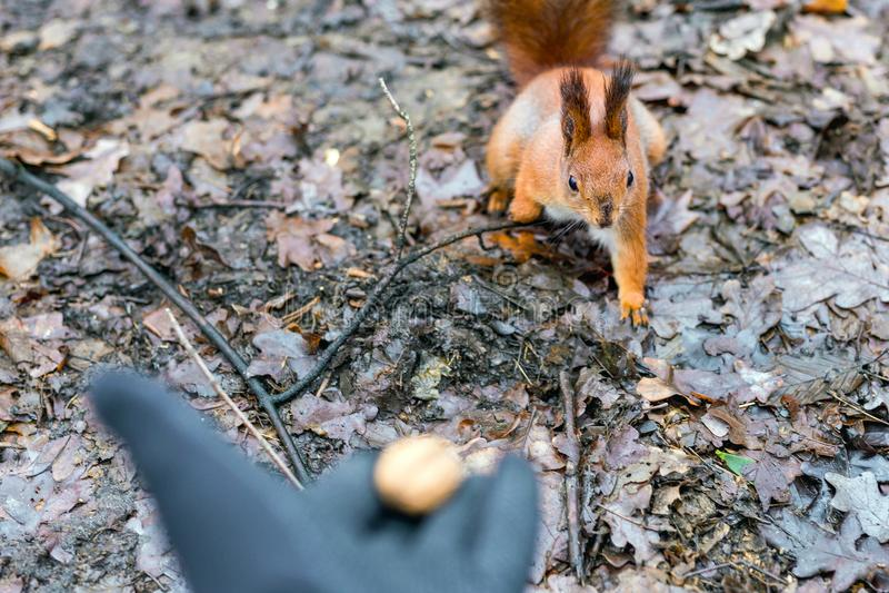 Feche acima da floresta de alimentação do esquilo da mão dos adultos imagens de stock