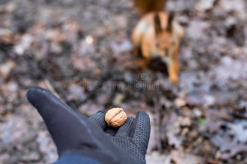 Feche acima da floresta de alimentação do esquilo da mão dos adultos foto de stock