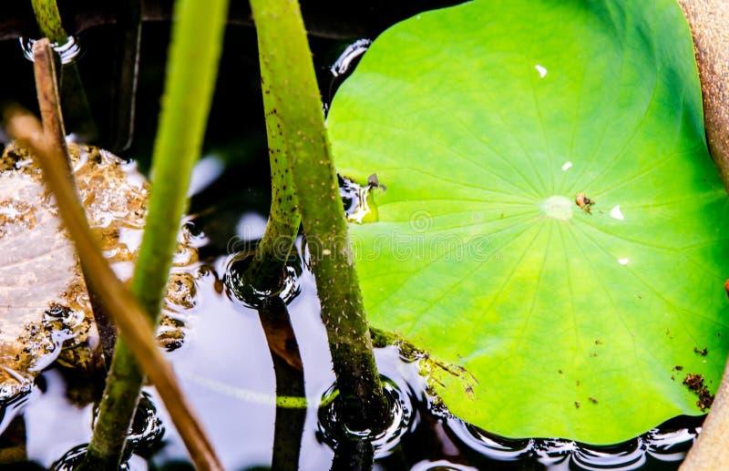 Feche acima da folha dos lótus no pântano preto fotos de stock