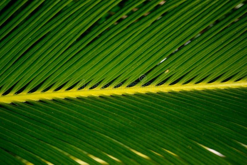 Feche acima da folha em uma planta da palma de sagu imagens de stock royalty free