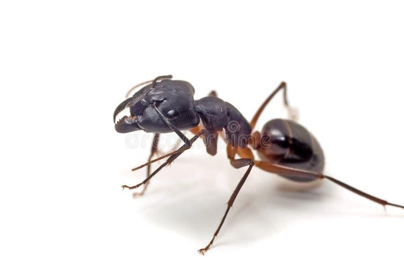 Feche acima da formiga no branco fotografia de stock