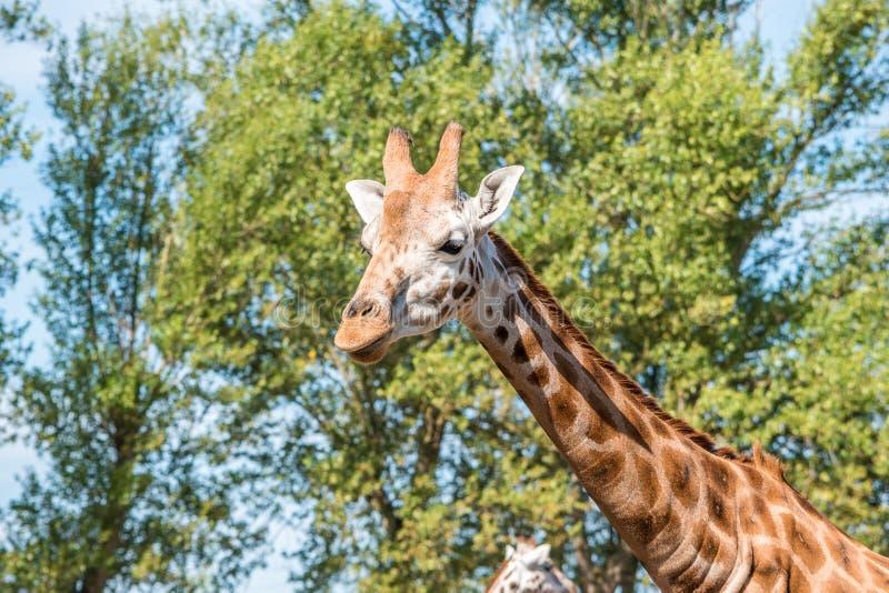 Feche acima da foto de um girafa de Rothschild fotos de stock royalty free