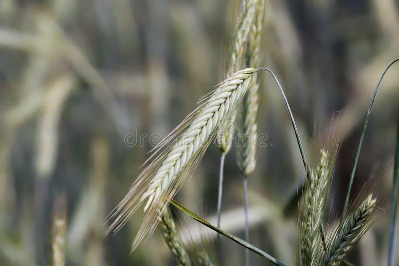 Feche acima da foto de uma orelha da planta do cereal foto de stock royalty free