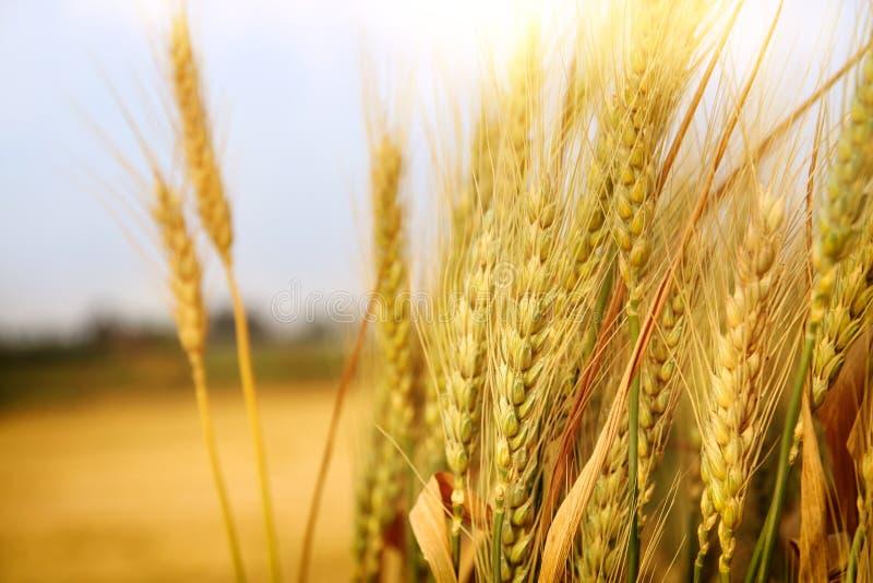 feche acima da foto do campo de trigo fotografia de stock