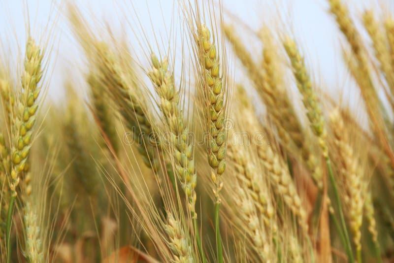 feche acima da foto do campo de trigo imagem de stock