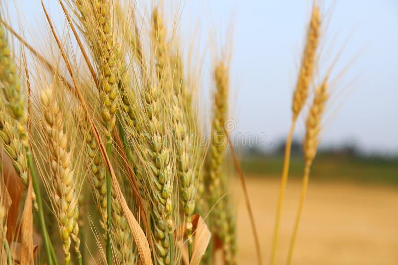 feche acima da foto do campo de trigo imagens de stock royalty free