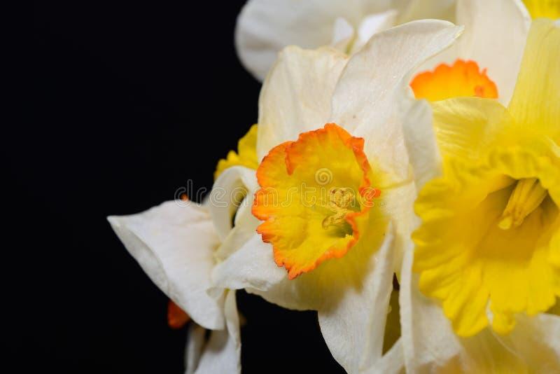 Feche acima da foto do ramalhete dos narcisos amarelos brancos e amarelos no preto fotografia de stock