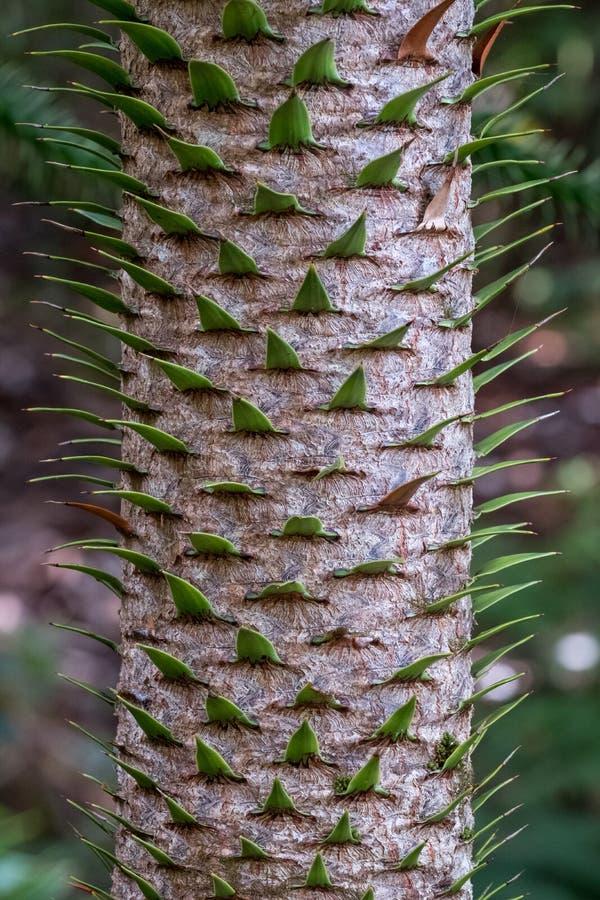 Feche acima da foto que mostra o detalhe do tronco, da casca e das folhas sempre-verdes da árvore do enigma de macaco imagens de stock