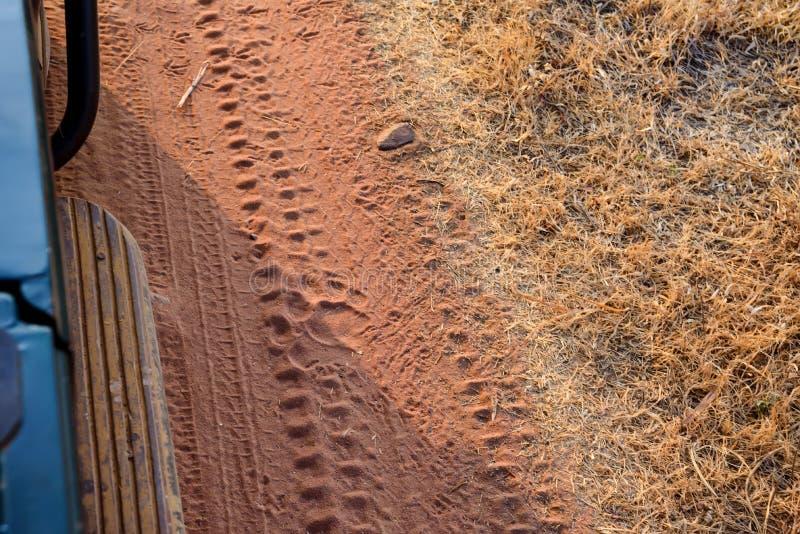 Download Feche Acima Da Fuga Do Tigre Na Estrada No Parque Nacional Imagem de Stock - Imagem de húmido, india: 107528761
