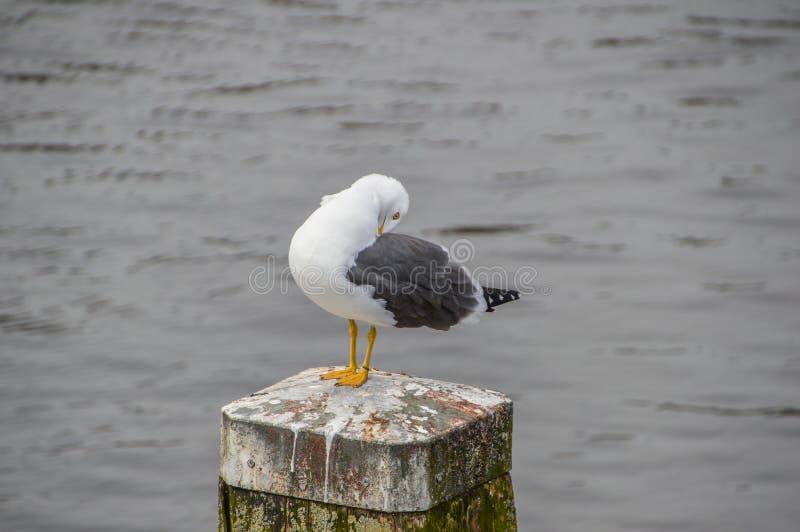 Feche acima da gaivota de arenques europeia fotografia de stock royalty free