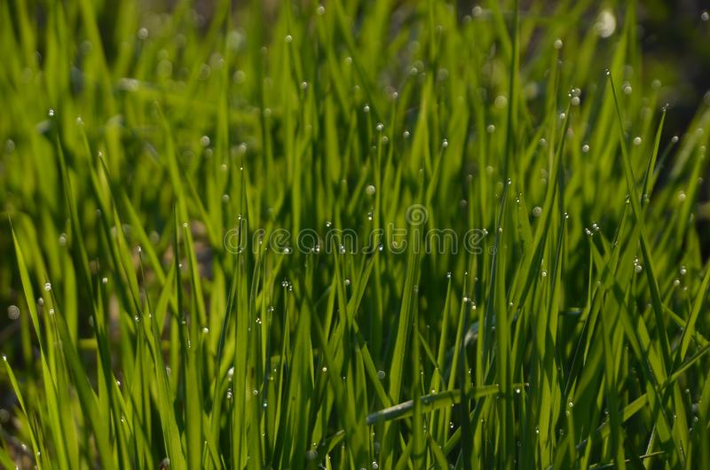 Feche acima da grama grossa fresca com gotas da água na grama verde do amanhecer com gotas da água imagens de stock royalty free