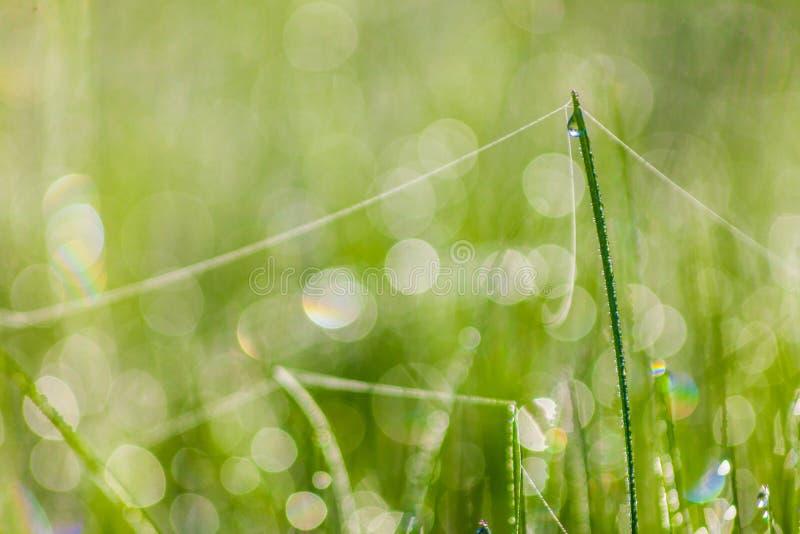 Feche acima da grama grossa fresca com gotas da água no amanhecer imagens de stock