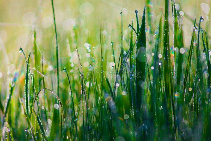Feche acima da grama grossa fresca com gotas da água no amanhecer fotos de stock