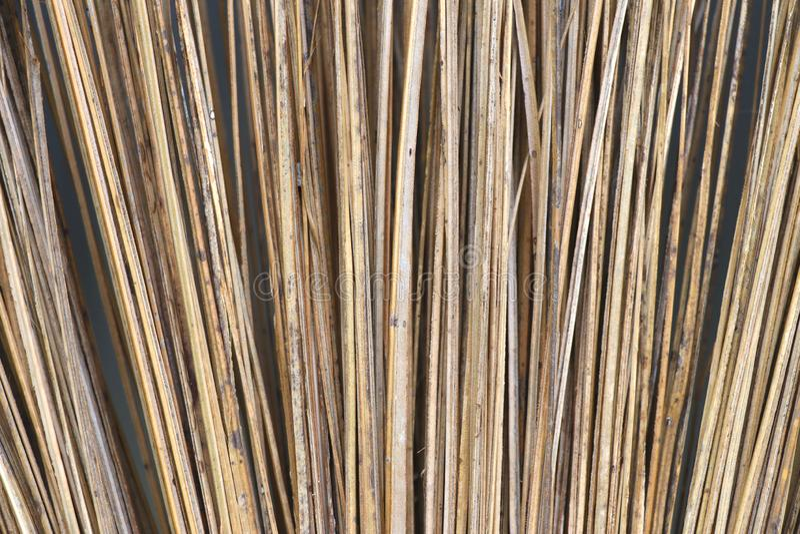 Feche acima da haste seca das folhas do coco fotografia de stock royalty free