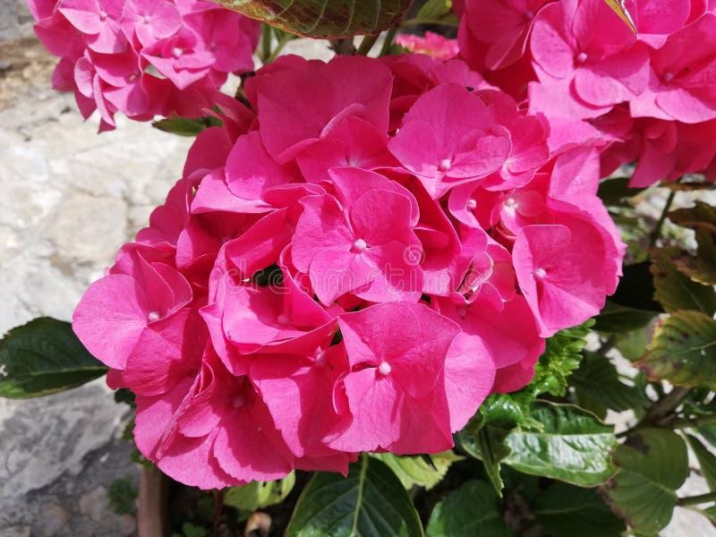 Feche acima da hort?nsia cor-de-rosa hortensia imagem de stock royalty free
