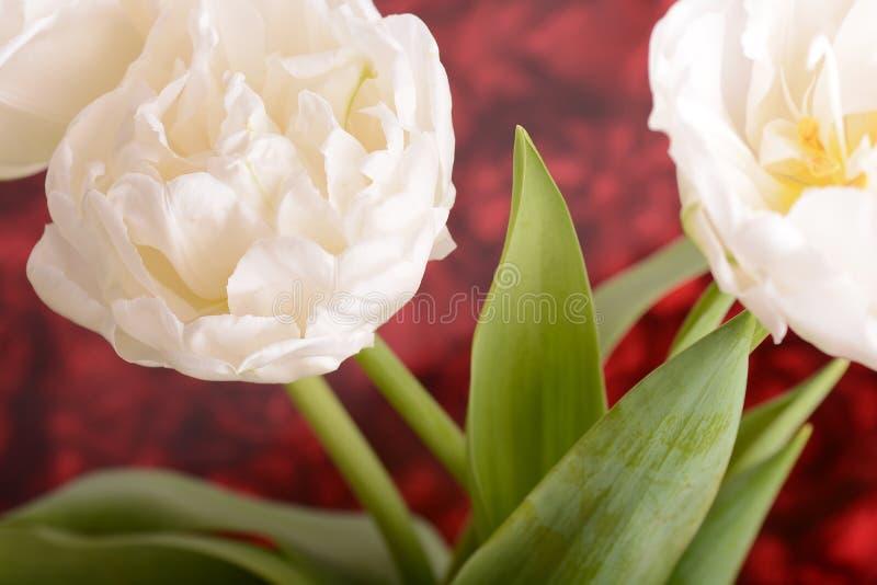 Feche acima da imagem da tulipa branca imagem de stock royalty free