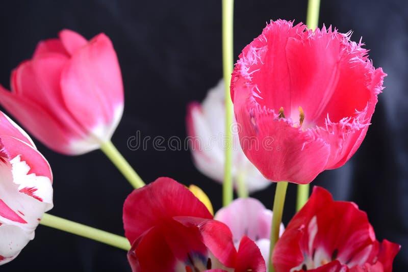Feche acima da imagem da tulipa no preto, flores imagens de stock royalty free