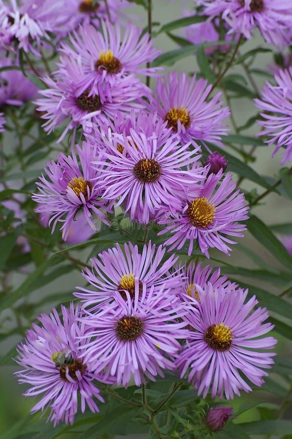 Feche acima da imagem de flores do áster de Nova Inglaterra imagem de stock