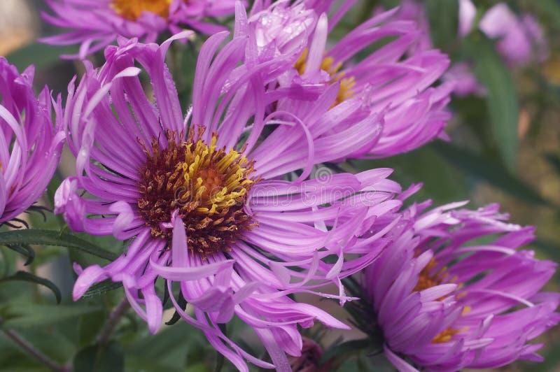 Feche acima da imagem de flores do áster de Nova Inglaterra foto de stock royalty free