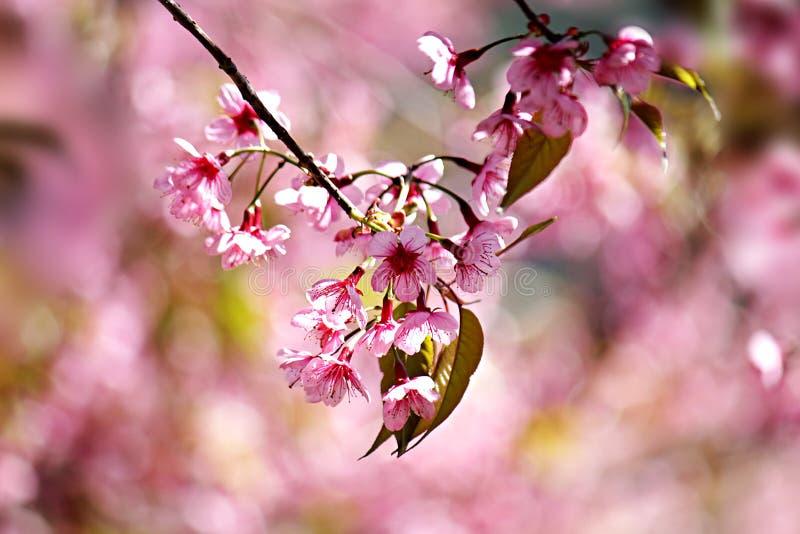 Feche acima da imagem de flores tailandesas dos ramalhetes de sakura e de fundo do céu azul imagem de stock royalty free