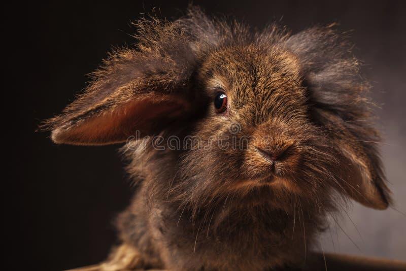 Feche acima da imagem de um coelho de coelho bonito da cabeça do leão fotografia de stock royalty free