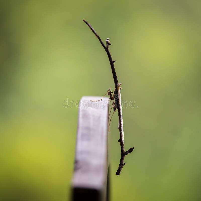Feche acima da imagem de um inseto do morosus de Carausius ou de vara do indiano e do laboratório ou da vara de passeio na ilha B imagem de stock royalty free