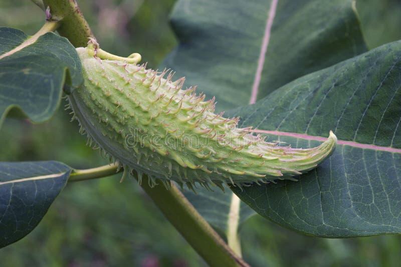 Feche acima da imagem do fruto comum do milkweed fotos de stock