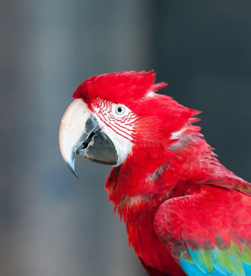 Feche acima da imagem do papagaio vermelho fotografia de stock royalty free