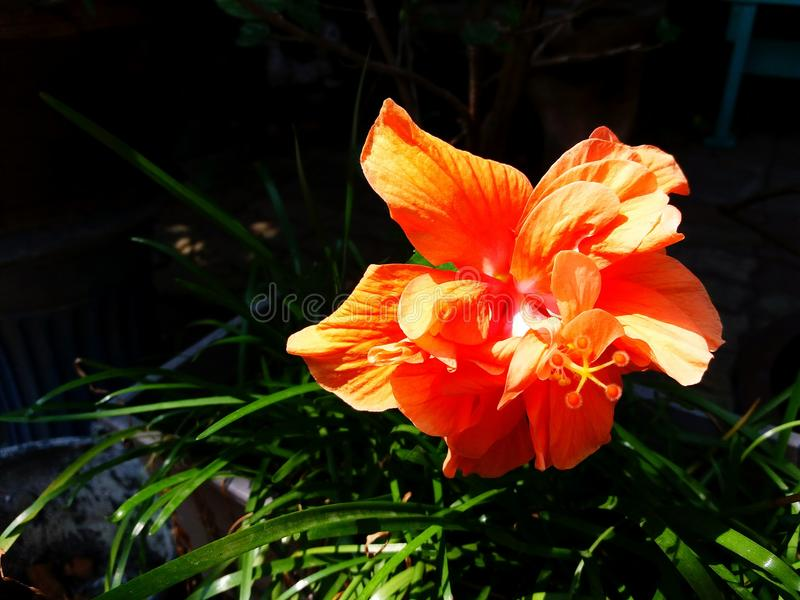 Feche acima da laranja bonita, flor da sapata, o hibiscus ou o chinês aumentaram florescendo com folhas verdes e fundo escuro imagens de stock royalty free