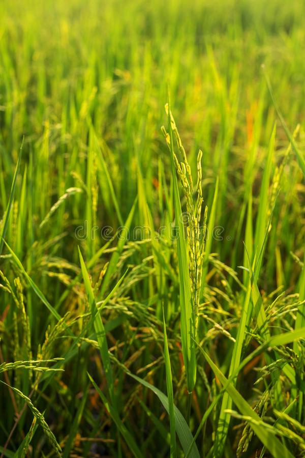 Feche acima da luz do sol do campo do arroz imagem de stock royalty free
