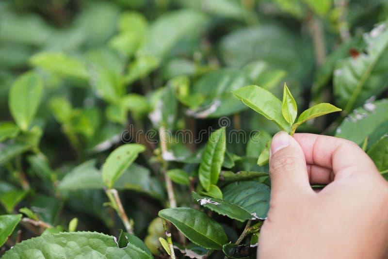 Feche acima da máquina desbastadora do chá verde com espaço da cópia imagem de stock royalty free