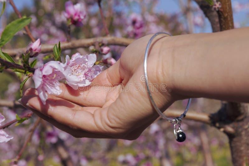 Feche acima da mão fêmea que guarda a árvore de amêndoa de florescência imagens de stock royalty free