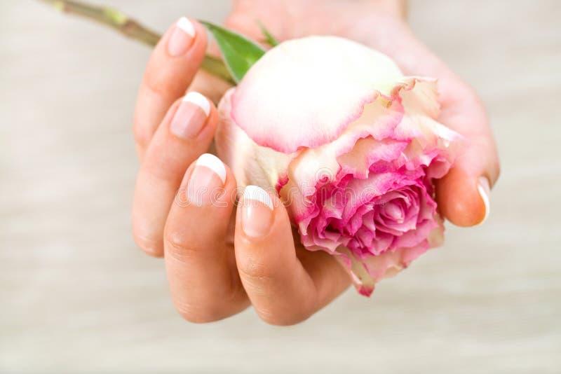 Feche acima da mão fêmea que prende a cor-de-rosa levantou-se. fotos de stock royalty free