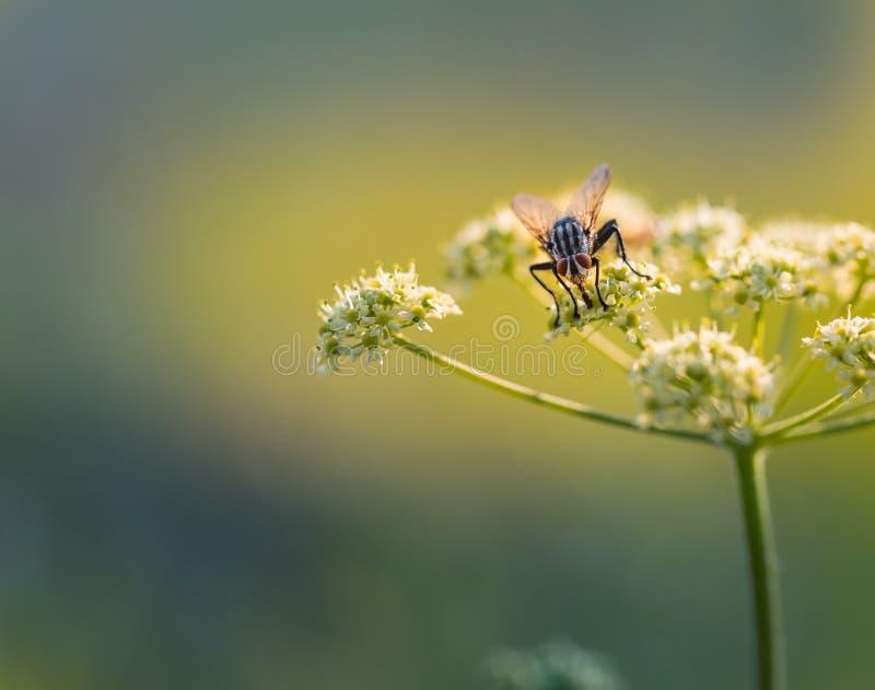 Feche acima da mosca que senta-se na flor selvagem imagens de stock
