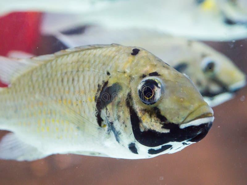 Feche acima da natação do melanotheron de Sarotherodon dos peixes do tilapia do blackchin em um aquário, seja uma espécie de nati fotos de stock royalty free
