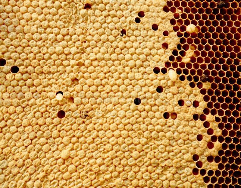 Feche acima da opinião as abelhas, larvas da abelha em pilhas do mel imagem de stock