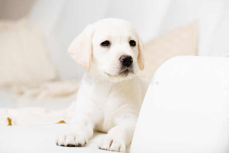 Feche acima da opinião o cachorrinho de Labrador que encontra-se no sofá imagens de stock royalty free