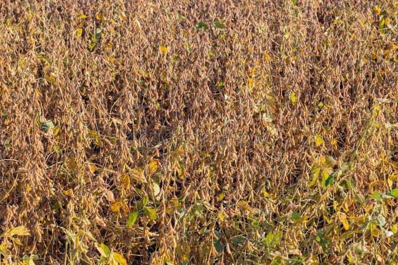 Feche acima da opinião os grãos de soja maduros prontos para a colheita imagens de stock
