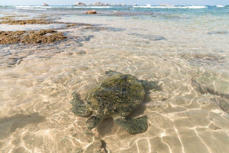 feche acima da opinião a tartaruga selvagem na água, hikkaduwa, fotos de stock royalty free