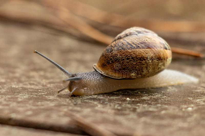 Feche acima da opinião um caracol de jardim bonito, saindo lentamente de seu shell Bonito, marrom, fibonacci, espiral, teste padr fotografia de stock royalty free