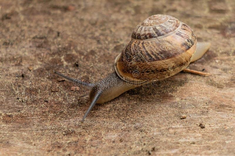 Feche acima da opinião um caracol de jardim bonito, saindo lentamente de seu shell Bonito, marrom, fibonacci, espiral, teste padr imagens de stock