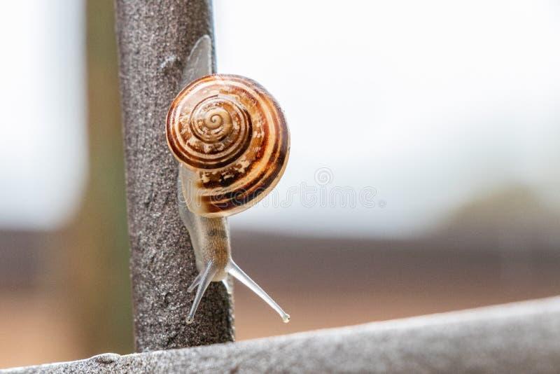 Feche acima da opinião um caracol de jardim bonito, saindo lentamente de seu shell Bonito, marrom, fibonacci, espiral, teste padr imagem de stock