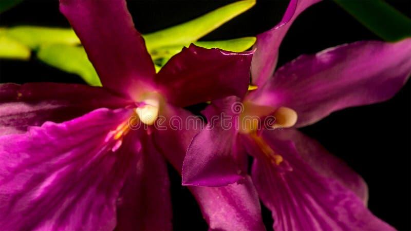 Feche acima da orquídea tem seus próprios formulário e cor característicos fotografia de stock royalty free
