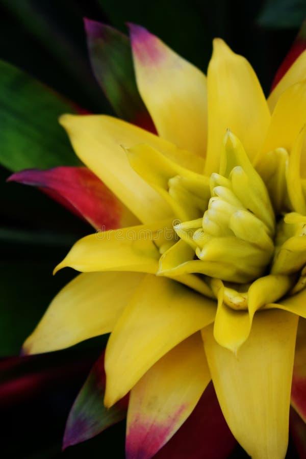 Feche acima da planta amarela da bromeliácea fotografia de stock