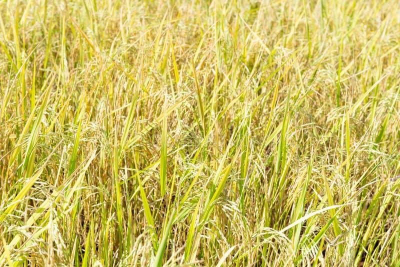 Feche acima da planta do arroz 'paddy' imagem de stock