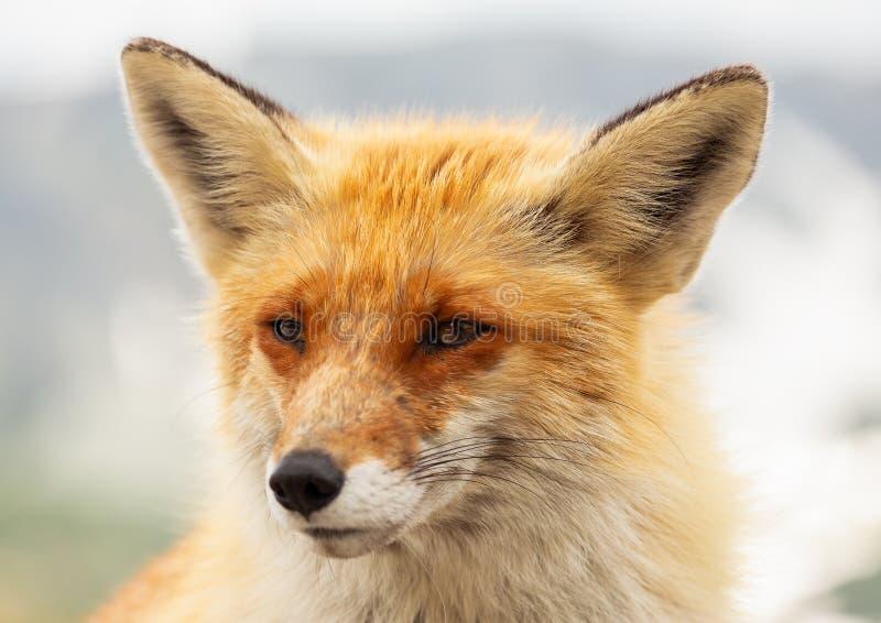 Feche acima da raposa vermelha no selvagem na natureza com fundo do borrão fotos de stock